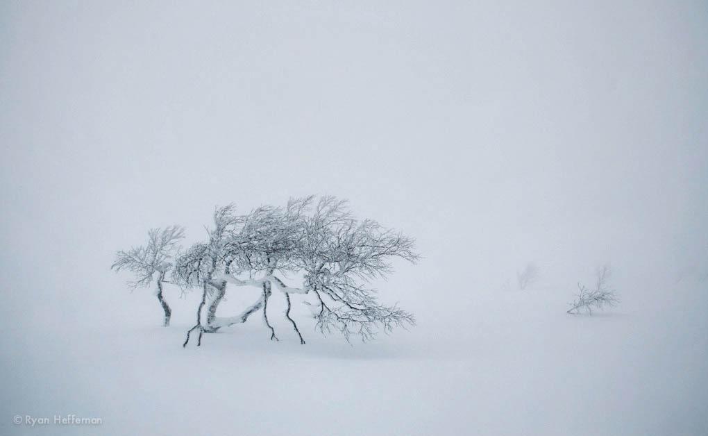 Lone tree in white, Niseko, Japan.