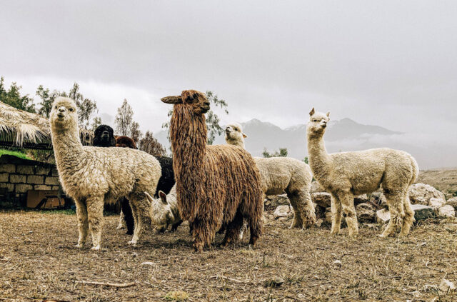 What You're Wearing, Part 6: Alpaca Wool (Ep.118), BLISTER